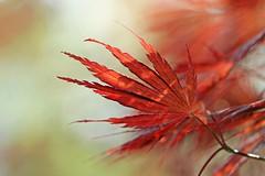 Japaneese Maple (Mah Nava) Tags: tree leaves maple acer bltter acerpalmatum baum ahorn japaneesemaple fcherahorn japanischerfcherahorn