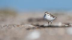 Bird on the Beach (Pascal Bernardin) Tags: kentishplover charadriusalexandrinus gravelotcollierinterrompu