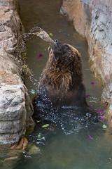 Fun With Food (marzipan bunny) Tags: bear arizona zoo tucson 7 april grizzly grizzlybear 2016 reidparkzoo