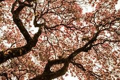 Bltenmeer (raimundl79) Tags: nikon foto ngc flickrr blume baum bestpicture bludenz frhling fotographie magnolie blumenfoto myexplorer nikond800 tamron2470mm flickrexploreme