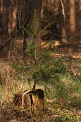 The Little Tree (Wellandok) Tags: wood forest wald spruce mets fichte kuusk