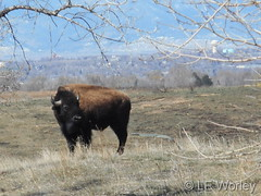 April 4, 2016 - Bison at the Rocky Mountain Arsenal. (LE Worley)