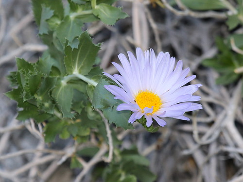 Orcutt's Woody Aster (Xylorhiza orcuttii), Tierra Blanca Mountains, Anza-Borrego Desert, CA, 3-19-16