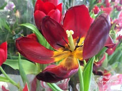 tulip ( Graa Vargas ) Tags: flower macro tulip tulipa iphone redyellow graavargas appleiphone6s 2016graavargasallrightsreserved