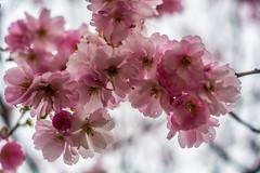 DSC_2897 (reza.karimib) Tags: cherry blossom sweden karlstad scandinavia nikond7100