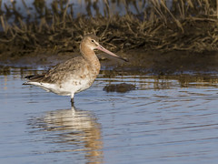 Redshank (Paul West ( pwest.me )) Tags: bird nature canon 7d marsh southport redshank rspb wader canon7d rspbmarshside