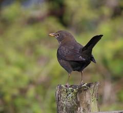 Mrs Blackie (themadbirdlady) Tags: turdusmerula passeriformes turdidae commonblackbird southalloans8790