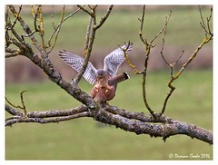 DS0D3646-Copulating-Kestrels (duncancooke.happydayz) Tags: uk bird nature birds native wildlife raptor british raptors kestrel copulation copulating kestrels distinguishedbirds birdperfect naturesgreenpeace