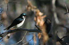Sycamore Grove 4-17-16 (62) (tpbsr) Tags: birds owl april woodpeckers livermore lvcc sycamoregrove