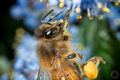 Bee Working  IMG_9891_5 (fredpiv) Tags: macro closeup canon bugs bee abeille apis 70d canonmpe65 canoneos70d canon70d naturalinsect insectesnaturels