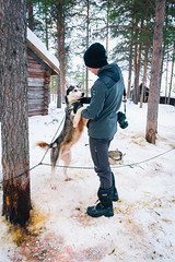 DSC_7758 (Adventurin') Tags: dog sweden stockholm aurora lapland sledding kiruna nothernlights