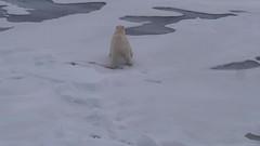 Thin ice (MoniqueM68) Tags: bear ice north pole svalbard polar thin