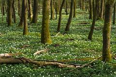 Carpet (dlorenz69) Tags: wood light sunset forest carpet evening spring hessen blumen anemone taunus teppich frhling abendsonne buschwindrschen anemonenemorosa blumenteppich