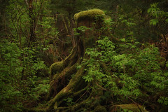 aging gracefully (wintercove) Tags: old trees alaska forest leaf moss rainforest decay roots foliage stump moist