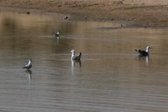 Img_2240 (steven.heywood) Tags: marina gulls crosby
