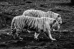 _XT13826 (Kazuky Akayashi) Tags: wildlife fujifilm animaux whitetiger tigres 100400 wildlifephotography xt1 xtrans fujixt1 fujinonxf100400f4556rlmoiswr