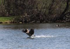 Splash Down (jmaxtours) Tags: goose landing etobicoke waterskiing canadagoose centennialpark splashdown etobicokeontario centennialparketobicoke