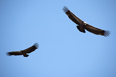 Scavengers (RubénRamosBlanco) Tags: naturaleza nature birds flying wildlife asturias aves animales somiedo buitreleonado buitres volando gypsfulvus griffonvulture gypful