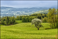 blossoming_tree (alamond) Tags: wood panorama canon landscape spring blossom 7d l lonely usm ef f4 1740 lonelytree mkii markii brane llens alamond zalar