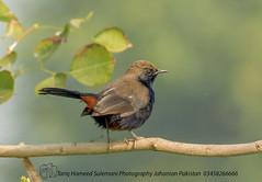 INDIAN ROBIN (TARIQ HAMEED SULEMANI) Tags: travel pakistan tourism nature robin birds trekking nikon indian punjab tariq tariqhameedsulemani jahanian