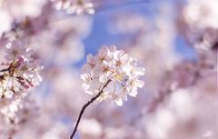 Untitled xD (Cindy Scheffer) Tags: pink flower macro happy spring pentax sunny k5 f17