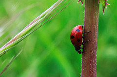 Back Down South (Mucahit Cetin) Tags: red macro green nature closeup bug insect branch beetle ladybird ladybug macrophotography closeupphotography coccinellidae