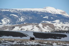 Moose in the park 2 (Aggiewelshes) Tags: travel winter snow mountains landscape scenery moose april wyoming jacksonhole grandtetonnationalpark 2016 gtnp