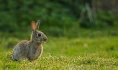 Outskirter - I4174766 (Boyce905) Tags: fiver wildlife bunny