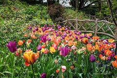 Shades of Orange in a Crowd (CVerwaal) Tags: nyc flowers orange spring tulips centralpark conservatorygarden fujifilmx100t