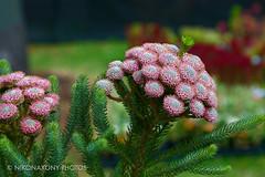 Colours-10 (nikonaxony) Tags: flowershow