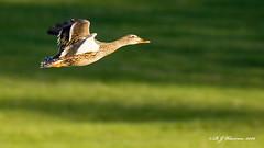 Mallard Duck Flying (Aria (RJWarren)) Tags: bird nature birds canon flying duck midwest wildlife ducks iowa mallard anasplatyrhynchos desmoines t3i glendalecemetery tamron150600mm