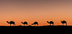 ... And the caravan moves (Chrif Benabid) Tags: sahara landscape algeria desert camels goldenhour eloued