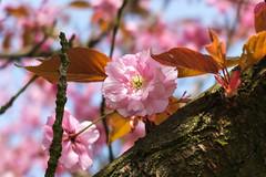 Kirschbltenallee Mauerweg Berlin/Teltow (2) (Lens Daemmi) Tags: berlin de cherry deutschland blossom hanami kirschblte teltow mauerweg kirschbltenallee