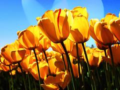 Tulipani (cor20131) Tags: test ombre luci progressive effetti fotoritocco tulipani