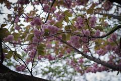 (kasa51) Tags: flower tree japan spring blossom cherryblossom sakura yokohama  yaezakura doubleflowered