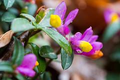 DSC_2937 / Polygala chamaebuxus (Orizzonti Simbruini) Tags: flora fiori polygala simbruini montisimbruini fioriture