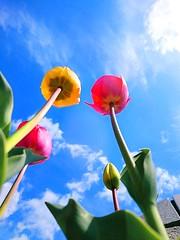 Tulips (akashirokiiro) Tags: flower bluesky tulip   xperia