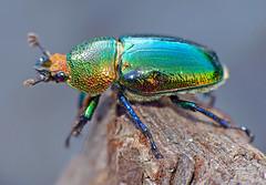 Golden stag-beetle Lamprima aurata (Simon Grove (TMAG)) Tags: australia tasmania coleoptera insecta lucanidae taroona tasmanianmuseumandartgallery lamprima december2015 tmagzoology