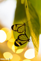 Love is in the air! (Leroy Brussee) Tags: macro butterfly vlinders luttelgeest orchideeenhoeve canon100mml