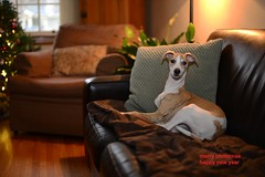 Merry Christmas (Rex Montalban Photography) Tags: dogs whippet merrychristmas rexmontalbanphotography