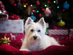Our gift (paulh192) Tags: family nikon westie westhighlandwhiteterrier approved snoopi christmas2015