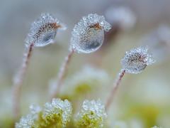 PC230081 (turbok) Tags: moose pflanze pflanzenmitrauhreif schneeundeis wildpflanzen c kurt krimberger