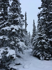 Winter pines (pereng_73) Tags: winter blackandwhite nature landscape soft tranquility chilly snowcoveredtrees vemdalen