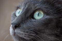 Yes... (Felix o Felia) Tags: pet cat grey feline dorian