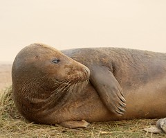 3B4A2142 (Janet-Hedger) Tags: seals donnanook janethedger