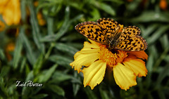 Love Butterfly Flowers eternal love (zaid_alwttar) Tags: flowers love butterfly