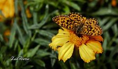 Love Butterfly Flowers eternal love (zaid_alwttar) Tags: flowers love butterfly ورده فراشة زهور ازهار