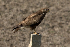 Ratonero (ramosblancor) Tags: naturaleza nature birds wildlife aves animales buzzard buteobuteo doñana butbut busardoratonero