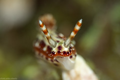 _MG_5910 (Robbysub) Tags: macro underwater romblon filippine
