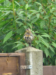 Showing True Colours (mdavidford) Tags: bird robin fence garden post feathers young perch juvenile fledgling ragged scruffy moulting plumage